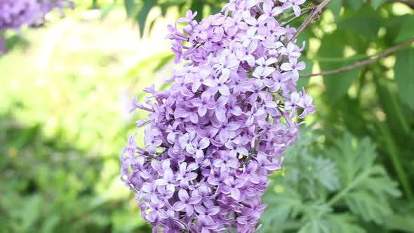 a Young Branch of a Lilac Flower is Slowly Moving From a Weak Wind