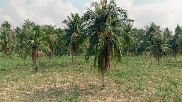 Thumbnail for Tropical Palms with Yellow Ripe Coconuts Grow on Field
