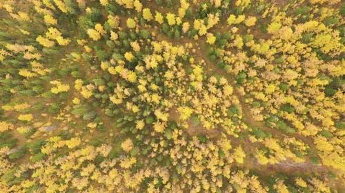 Larch Forest Autumn