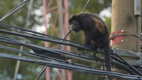 Mantled Howler Monkey Female Adult Lone Scratching Itching. Rubbing Powerline Cable Wires