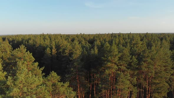 Thumbnail for Pine Forest, Aerial View with Drone. Top View in Pine Wood Park