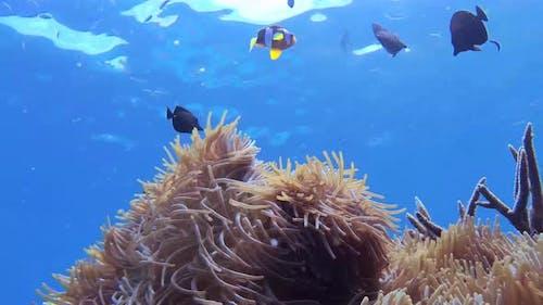 Underwater View Of Tropical Fish In Kri Island, Raja Ampat.