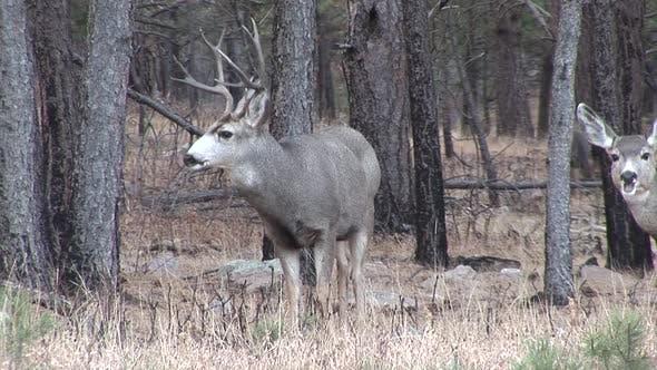 Mule Deer Buck Doe Adult Several Standing in Autumn