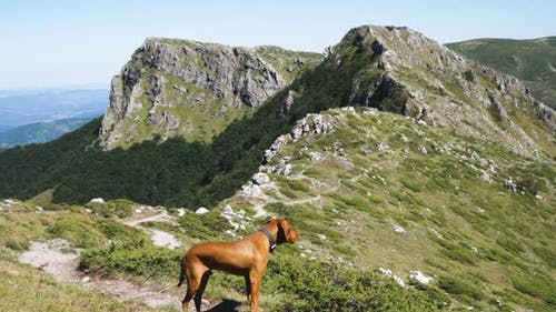 Hungarian Vizsla Dog on Mountain Trail. Dog Against Green Mountains and Rocky Peaks