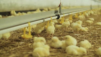 Newborn Chicks For Fattening On Modern Poultry Farm