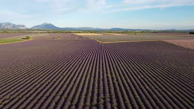Valensole Lavender Fields Agriculture