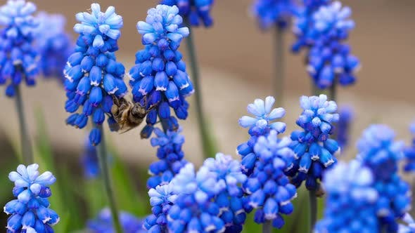 Cover Image for Bee Flying Near Muscari Flower