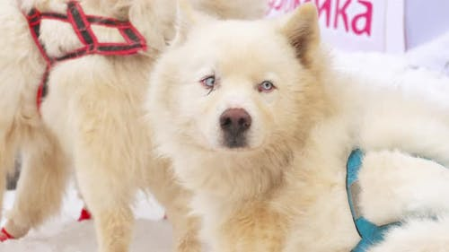 Husky Schlitten Hunde vor Wettbewerben
