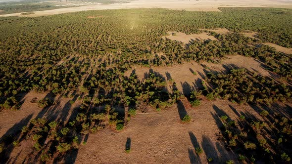Thumbnail for Trees Growing on Plain with Shadows from the Setting Sun, South Africa