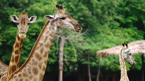 Close-up of giraffe resting in nature