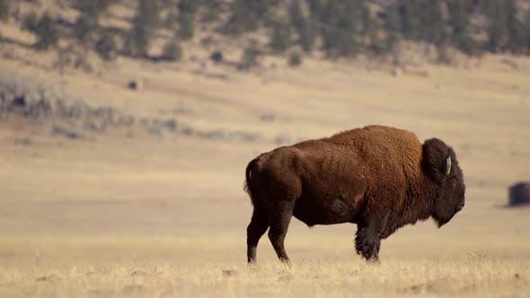 Colorado Prairie American Bison