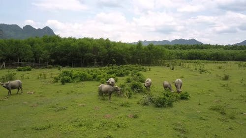 Pastureland with Buffaloes Herd Eating Grass Aerial View