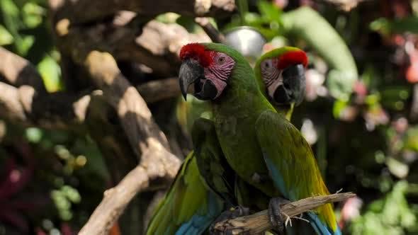 Thumbnail for Couple de perroquets vert Ara rouge sur une branche dans une réserve sur l'île de Bali