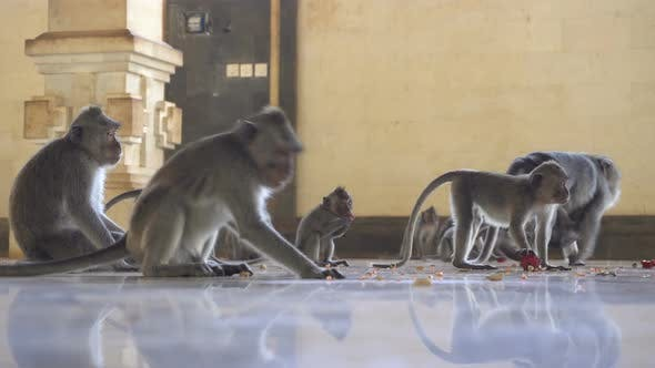 Thumbnail for Macaque Family Monkeys Feeding in a Temple