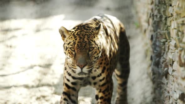 Thumbnail for Leopard Walking In The Zoo Cage