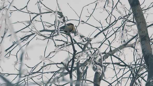 Titmice on Tree Twigs Covered with Frost in Wood Slow Motion