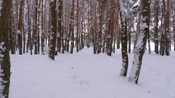 Thumbnail for Flying Through the Winter Pine Forest Snowy Path in a Wild Winter Forest Between Pines