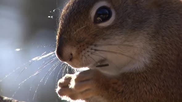 Thumbnail for Red Squirrel Adult Lone Eating Feeding Face Whiskers Eyes in South Dakota
