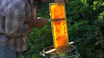 beekeeper cuts wax from a honeycomb with honey