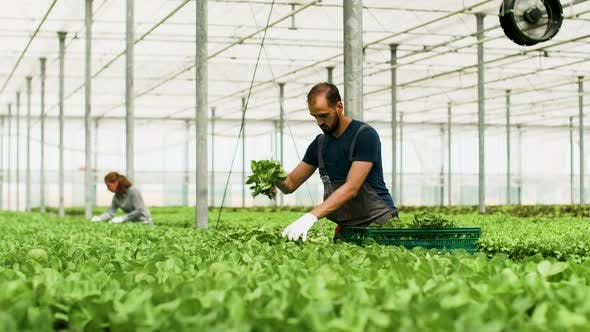Thumbnail for Male Farm Worker Harvesting Organic Green Salad in Box