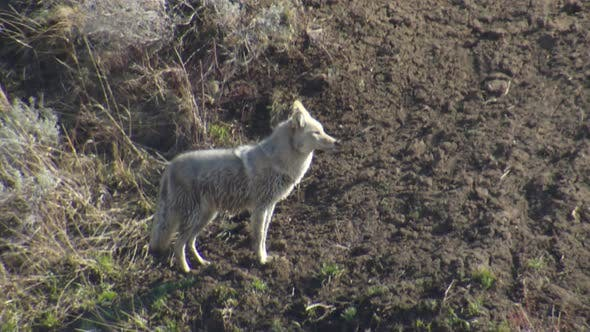 Thumbnail for Coyote Adult Lone Walking Moving in Spring in Yellowstone National Park Wyoming