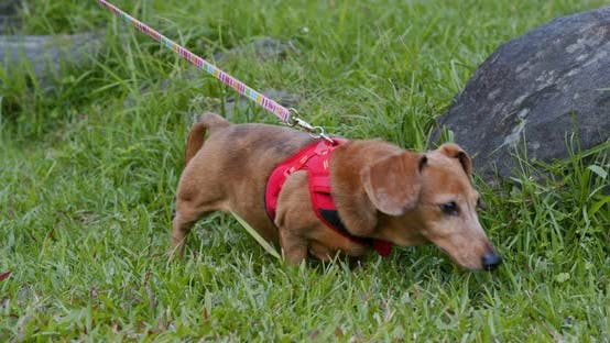 Thumbnail for Dachshund going out in the park