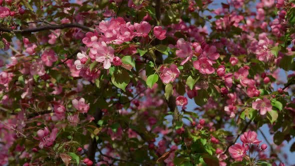 Thumbnail for Pink Apple Trees Blossoming in Spring Garden