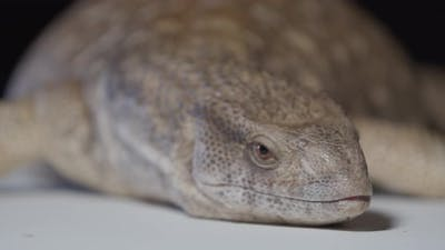 Close Up of a Cute Monitor Lizard Laying in the Studio Amazing Wildlife
