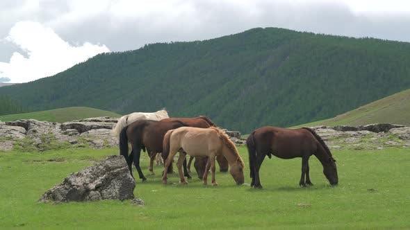 Free Mongolian Horses