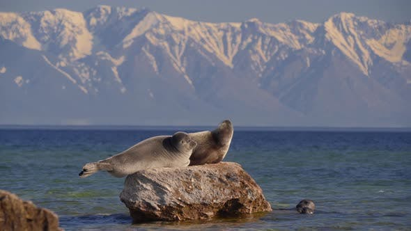 Seal Nerpa on Lake Baikal Rest on Stone on Snowy Mountain Background