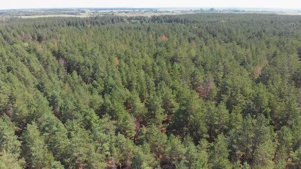 Thumbnail for Aerial View of Pine Forest