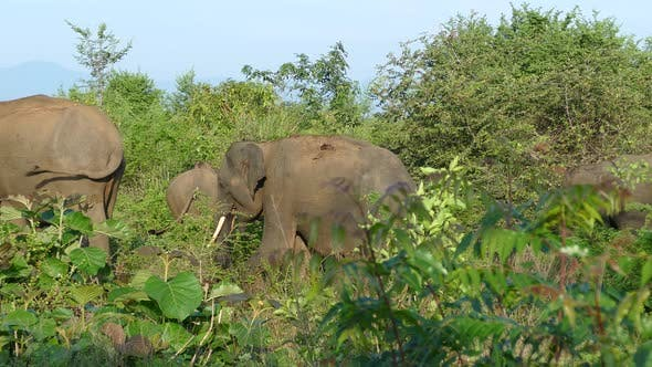 Thumbnail for Group Asian elephants walking away
