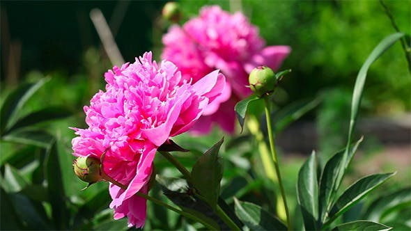 Cover Image for Pink Peonies