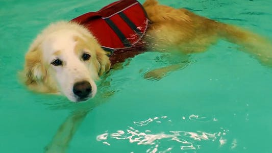 Thumbnail for Dog is Swimming in the Swimming Pool
