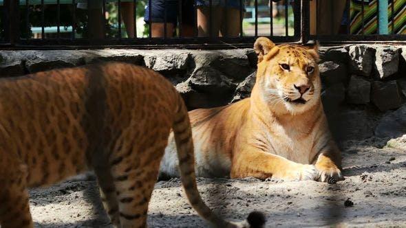 Liger Resting In Zoo. Liger Cub Walks Around