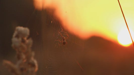 Thumbnail for Spider in a Field at Sunset