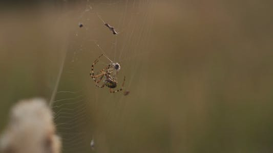Thumbnail for The Spider Spins a Cocoon