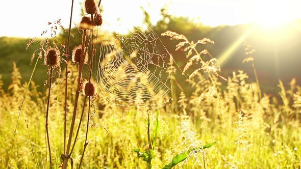 Thumbnail for Prairie Grass and Spider Web and Sun