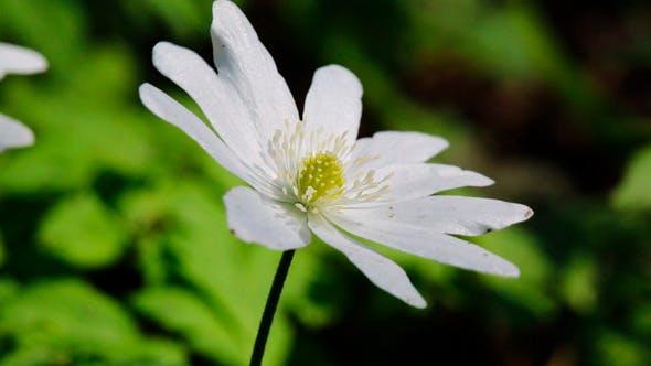 Thumbnail for White Flower Anemone
