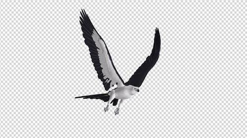 Swallowtail Kite - 4K Flying Loop - Side Angle