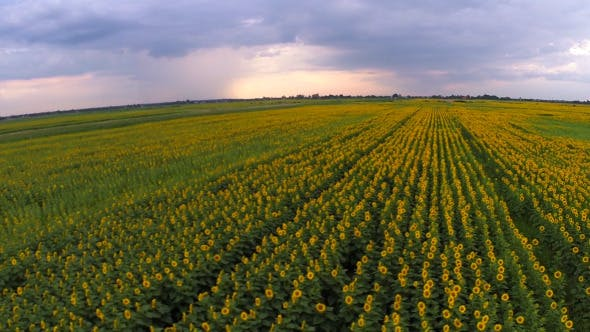 Thumbnail for Aerial View Of A Sunflower Field 2