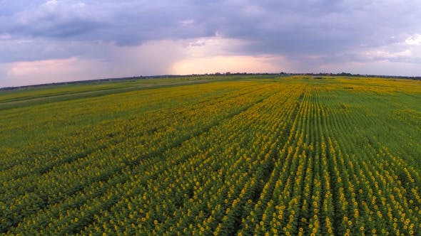 Thumbnail for Aerial View Of A Sunflower Field 3