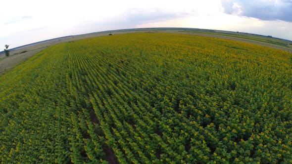 Thumbnail for Aerial View Of A Sunflower Field 4