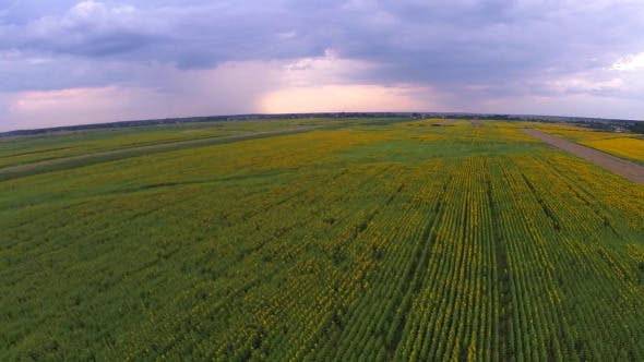 Thumbnail for Aerial View Of A Sunflower Field 5
