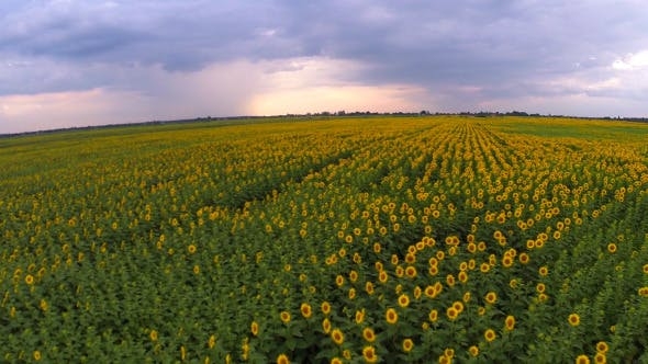 Thumbnail for Aerial View Of A Sunflower Field 6