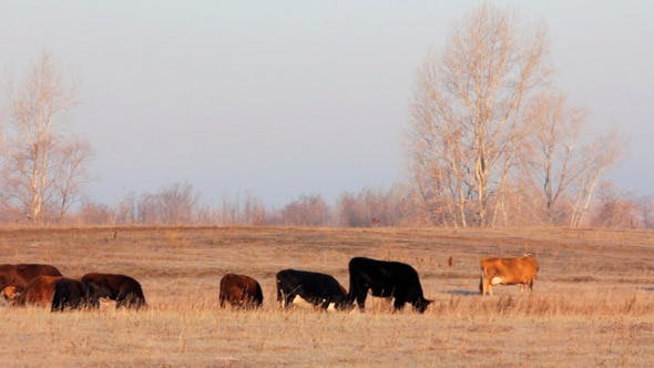 Thumbnail for Cows On Autumn Dry Pasture