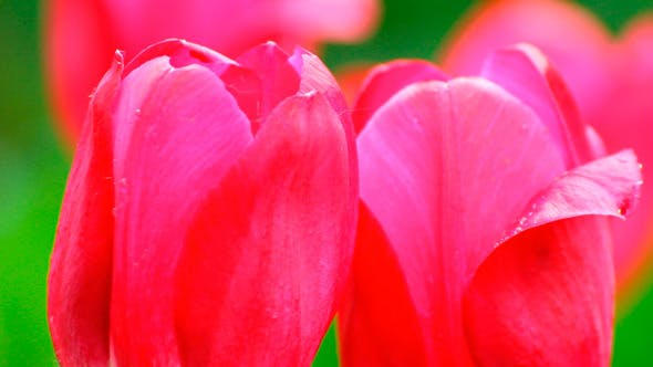 Thumbnail for Bright Red Tulips
