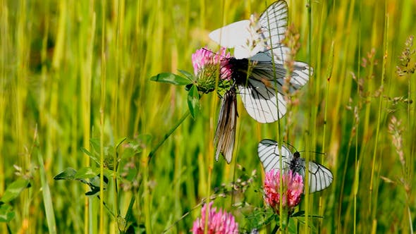 Thumbnail for White Butterfly On Flowers