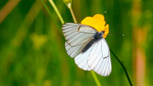 Cover Image for White Butterfly On Yellow Flowers