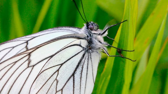 Thumbnail for White Butterfly On Green Leaf Macro